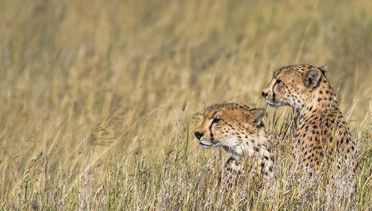 cheetah-in-serengeti